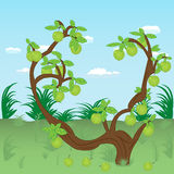 Apple tree in the meadow Royalty Free Stock Photo