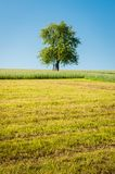 Apple Tree in the Meadow Stock Image