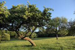 Apple tree on meadows Stock Photos