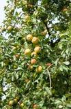 Apple tree med smakliga frukter royaltyfri fotografi