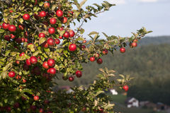 Apple Tree. With mellow fruits Royalty Free Stock Photo