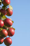 Apple Tree. With mellow fruits Stock Photos
