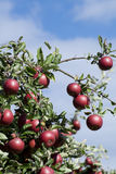 Apple Tree with mellow fruits Stock Photography