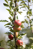 Apple Tree with mellow fruits Royalty Free Stock Images