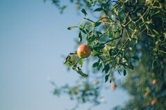 Apple tree and mistletoe Royalty Free Stock Photo