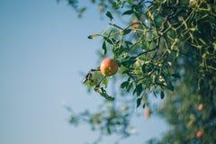 Apple tree and mistletoe Royalty Free Stock Photo