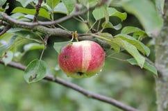Apple on tree. Stock Photos