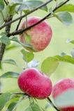 Apple on tree. Royalty Free Stock Image