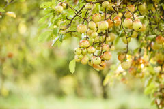 Apple tree in old apple orchard Stock Images