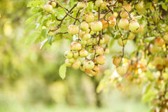 Apple tree in old apple orchard Stock Photos