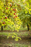 Apple tree in old apple orchard Stock Image