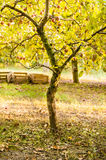 Apple tree in old orchard. An apple tree on old orchard in autumn Royalty Free Stock Photos