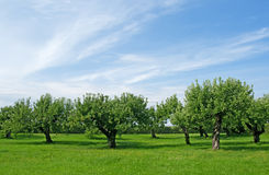 Apple tree orchard Royalty Free Stock Photography