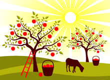 Apple tree orchard Royalty Free Stock Photo