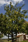Apple tree in an orchard Stock Photos