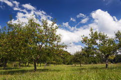 Apple tree orchard Stock Photos