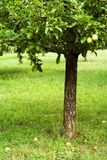 Apple tree in orchard. Detail Stock Photo