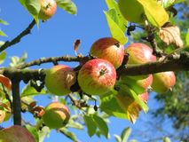 Apple Tree, Orchard, Apfelernte Royalty Free Stock Images