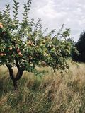 Apple tree in the orchard stock photo
