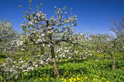 Apple tree orchard Stock Photography