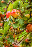 Apples. Red apples on the branch of a tree in a Victorian orchard Royalty Free Stock Image