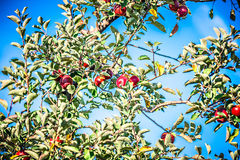 Apple tree orchard before harvest Royalty Free Stock Images
