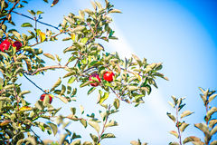 Apple tree orchard before harvest Stock Image
