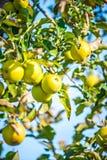 Apple tree orchard before harvest Stock Photo