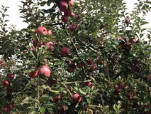 Apple tree orchard Royalty Free Stock Image