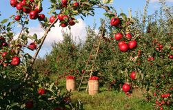 Apple, Tree, Orchard, Red, Green Stock Photo