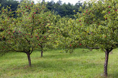 Apple tree orchard Stock Photo