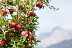 Apple tree over mountain landscape Royalty Free Stock Photos