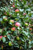 Apple tree in overgrown garden Stock Photography
