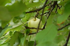 Apple tree. Papirovka Polish: Papierówka is a cold-resistant early-ripening apple Malus domestica cultivar grown across Central and Eastern Europe and the stock photos