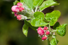 Apple tree petal and buds Royalty Free Stock Photos
