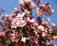 Apple tree pink flowers Stock Photos