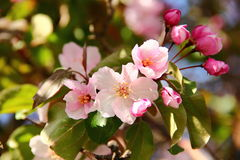 Apple tree pink flowers. Spring blossom Stock Photo