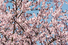 Apple Tree Pink Flowers Spring Blossom Stock Images