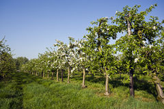Apple tree plantation. Perspective view of apple tree plantation in spring Stock Photo