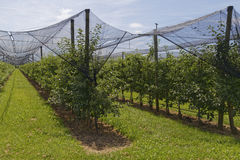 Apple tree plantation. Covered with nets Stock Photos