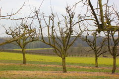 Apple tree plantation Stock Image