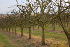 Apple tree plantation Royalty Free Stock Photo
