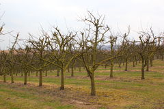Apple tree plantation Royalty Free Stock Images