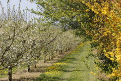 Apple tree plantation Stock Photo
