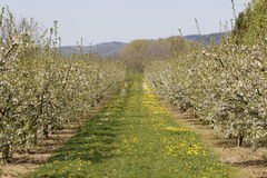 Apple tree plantation Stock Images