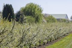 Apple tree plantation Stock Images