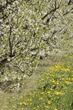 Apple tree plantation Royalty Free Stock Image