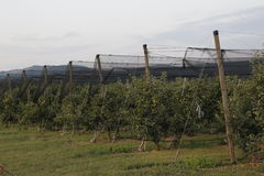 Apple tree plantation. In the sunset Stock Images