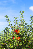 Apple Tree with Plenty of Apples Stock Image