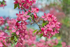 Apple tree with purple flowers Royalty Free Stock Photo